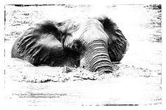 African Elephant cooling down by wading through a river in South Africa's Kruger National Park Kruger National Park, National Parks, African Elephant, Wildlife, Animals, Animales, Animaux, African Bush Elephant, Animal