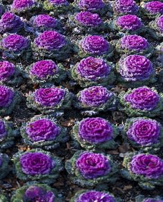 Ornamental and flowery, purple cabbage