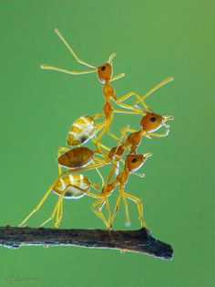 "libutron: "" A tower of Weaver ants, Oecophylla smaragdina (Hymenoptera - Formicidae), from Vietnam. Weaver ants are best known for their remarkable nest construction. Using precise coordination, the weaver ants create very strong ant chains by. Ant Insect, Insect Art, Macro Photography, Wildlife Photography, Ant Bites, Animals And Pets, Cute Animals, Bugs And Insects, Nature Photos"