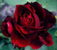 rosas-vermelhas-lindas-roses
