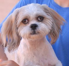 Duke is an endearing young Lhasa Apso debuting for adoption today at Nevada SPCA (www.nevadaspca.org).  He is 2 years of age and neutered, housetrained and crate-trained, good with cats and mature kids.  Duke also likes most dogs, but reportedly lost his previous home due to not getting along with some male dogs.  A gentle home is ideal for him.