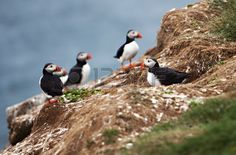 An Atlantic Puffin Colony On The Cliffs Of Grimsey Island, Iceland Stock Photo, Picture And Royalty Free Image. Image 29515568.