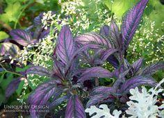 Persian Sheild and euphorbia 'Diamond Frost'
