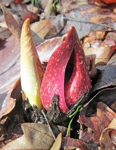 EASTERN SKUNK CABBAGE: (Syplocarpus foetidus). Photographed Feb 20, 2018 at the Wildflower Reserve of Raccoon Creek State Park in Beaver County, PA.