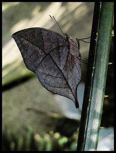 Indian Dead Leaf Butterfly.