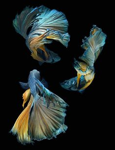 Strikingly Beautiful Siamese Fighting Fish Dance in Dark Waters by Visarute Angkatavanich