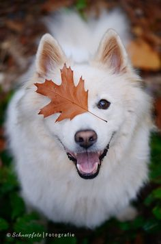 Adorable Eskimo Dog enjoying playing with leaves in the Autumn