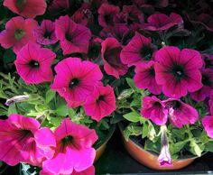 Petúnies, Petunias.  Flores para el jardín. Flors per al Jardí.  #Petunias #Flores #Flowers #Garden