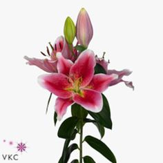 Lily Oriental Manefesto are great for flower arrangements for weddings and events! Creating a natural and textured look! Head over to www.trianglenursery.co.uk for more information! Great wholesale prices!