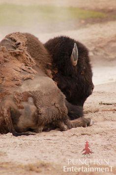 #yellowstonenationalpark #mountains #wyoming #whyoming #stateparks #naturephotography #mountainsandlakes #beautifulscenery #bison #buffalo #punchkinentertainment