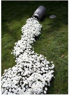 A river of white flowers to add intrigue to any garden! This pin leads to fabulous garden ideas. (Ode to Stoker milk..can of spilt milk--flowers)