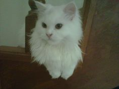 my momo is like a little white lion