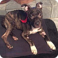 New York, NY - Pit Bull Terrier Mix. Meet Ali, a dog for adoption. http://www.adoptapet.com/pet/14545899-new-york-new-york-pit-bull-terrier-mix