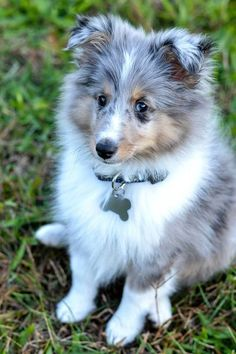 The Shetland Sheepdog originated in the and its ancestors were from Scotland, which worked as herding dogs. These early dogs were fairly small, about 20 inches in height, which further developed into the current Shetland Sheepdog. Cute Puppies, Cute Dogs, Dogs And Puppies, Big Dogs, Doggies, Corgi Puppies, Bleu Merle, Sweet Dogs, Shetland Sheepdog Puppies