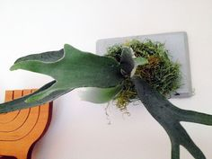 How to mount and hang a staghorn fern