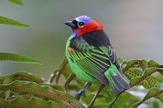 brazil-birds-red-necked-tanager.