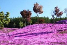 Shibazakura Flower | Hokkaido| Japan
