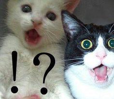 white cat, black and white cat. ! ?