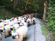 désalpe : Tous les messages sur désalpe - Nouky en alpage Sheep, Goats, Tassels, Birds, Messages, Nature, Animals, Inspiration, Pom Poms