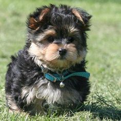 yorkies | Love Yorkies | Rosie