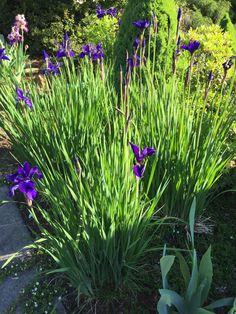 Iris -- Miniature