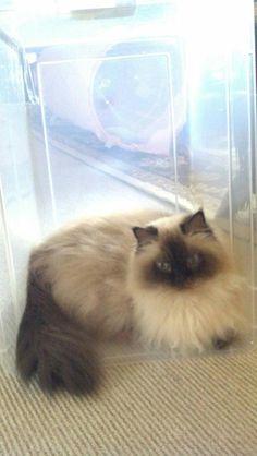 Himalayan  cat (Boris...my big fluff ball)