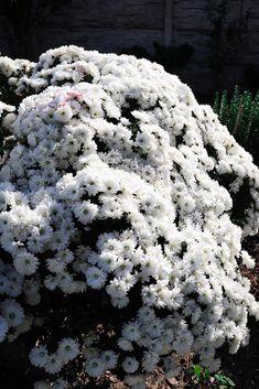 Octombrie in gradina – Ama Nicolae Salvia, Plant, Sage