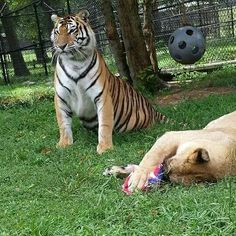 Libby did not want tiger lilly to play with her toy