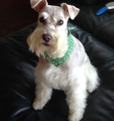 Happy St. Pat's Day Schnauzer Dogs, Mini Schnauzer, Miniature Schnauzer, Schnauzers, Babies, Happy, Animals, Babys, Animales