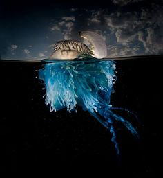 Portuguese man o' war AKA Bluebottle (Physalia Physalis) by Matt Smith - Vieu Photography Under The Water, Under The Sea, Underwater Images, Underwater Life, Portuguese Man O' War, Foto Nature, Man Of War, Photo Images, Ocean Creatures