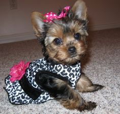 """Pinner said  """" I need a lil girl yorkie to wear these cute lil dresses!"""" I say I have a little yorkie to wear this!!!"""