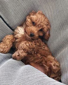 Cavapoo Puppies: Information, Features, Facts, Videos - Dog for Apartments Cute Dogs And Puppies, Baby Dogs, Pet Dogs, Fluffy Puppies, Mini Dogs, Yorkie Dogs, Doggies, Cavapoo Puppies, Cavoodle Dog