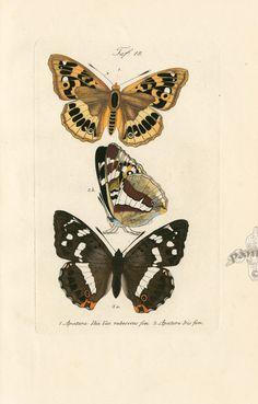 Kayser Butterfly Prints & Moth Prints 1828