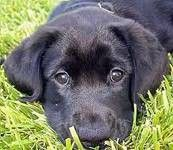 Black Lab puppies...reminds me of my Isabellla when she was a tiny puppy.