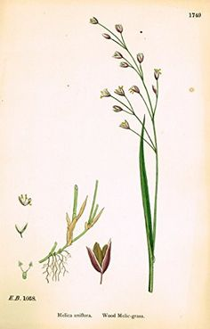 """Sowerby's English Botany - """"WOOD MELIC GRASS"""" - Hand-Colored Litho - 1873"""