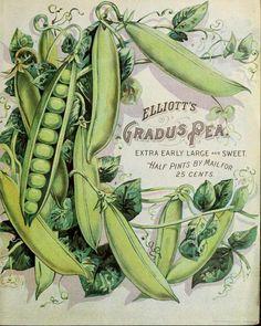 Elliott's Gradus Pea. 'Extra Early Large & Sweet.