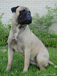 Bullmastiff, I would love to have one of these!!