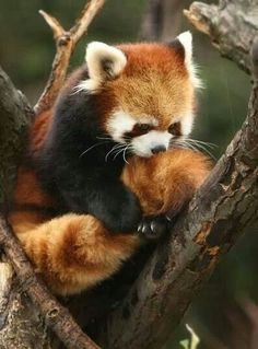 Red panda playing with its fluffy tail