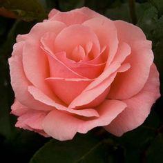 Rosier+à+grandes+fleurs+Queen+Elisabeth