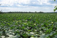 lily lake near the amana colonies in iowa Amana Colonies, Lily Pond, Short Trip, Chester, Amish, Vacation Destinations, Iowa, Mother Nature, Places To See