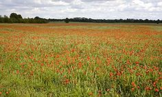 Nature calls … a poppy field.