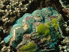 The largest of all mollusks, the giant clam prefers the warm waters around Australia's Great Barrier Reef.