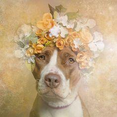 Ces pitbulls coiffés de couronnes de fleurs vont vous faire craquer