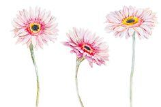 Watercolor gerbera flowers by Lembrik's Artworks on @creativemarket