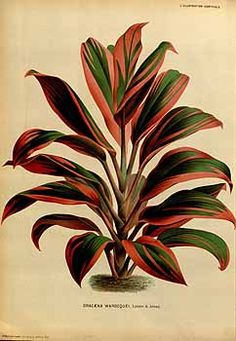 113487 Cordyline fruticosa Göpp. [as Dracaena warocquei Linden & André]  / L' Illustration horticole, vol. 22: t. 217 (1871)