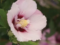 Hibiscus syriacus 'Minspot', Medium pink buds give way to semi-double flowers with a unique pattern, which slowly fades to light pink. No Bake Summer Desserts, Summer Recipes, Classic Soup Recipe, Slow Cooker Breakfast, Summer Kitchen, Taste Of Home, Vanilla Ice Cream, Vintage Recipes, Painting Tips