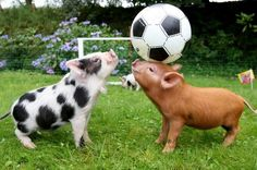 Cute Baby Pigs, Cute Piglets, Animals And Pets, Funny Animals, Farm Animals, Pig Breeds, Miniature Pigs, Pot Belly Pigs, Teacup Pigs
