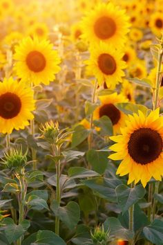 Summer books/ Summer literary locations/ The Novel Points of View blog team share their favourite kind of summer reads... Sunflower Iphone Wallpaper, Aqua Wallpaper, Wallpaper Iphone Disney, Trendy Wallpaper, Iphone Backgrounds, Iphone Wallpapers, Paper Sunflowers, Sunflower Fields, Holiday Travel