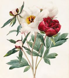 Red And White Herbaceous Peonies by Louise D'Orleans