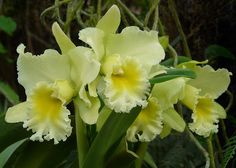 Yellow Cattleya Orchid, by njchow82, via Flickr
